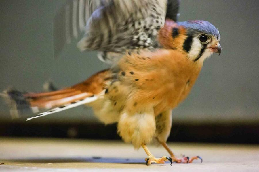 Chester%2C+an+American+Kestrel+%28Falco+Sparverius%29%2C+is+currently+the+only+resident+of+the+raptor+rehabilitation+facility+at+IVCC.+Chester+was+obtained+from+a+Lasalle+family+after+he+was+orphaned+at+birth.+The+rehabilitation+center+has+had+him+for+four+years+now+and+does+not+plan+to+release+Chester+as+he+is+too+dependent+on+humans+for+survival.